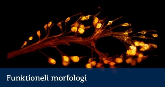 doftreceptorceller hos drosophila